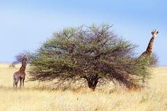 Girafe de femelle adulte avec le veau Photos libres de droits
