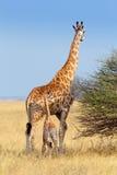 Girafe de femelle adulte avec le veau Photo stock