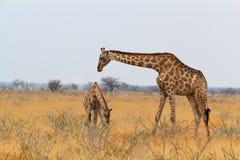 Girafe de femelle adulte avec le veau grazzing Images libres de droits