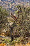 Girafe de femelle adulte avec le veau grazzing Photos stock
