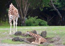 Girafe de mère avec le bébé Photographie stock libre de droits