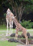 Girafe de mère avec le bébé Photo stock