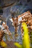 Girafe de mère et girafe d'enfant mangeant des feuilles Photos libres de droits