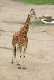 Girafe de marche dans un zoo Photos stock