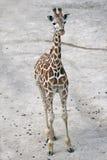 Girafe de marche dans un zoo Photographie stock