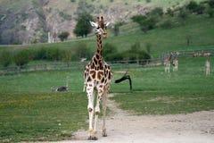 Girafe de marche dans un zoo Photographie stock libre de droits