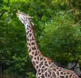 Girafe de masai Photo libre de droits