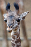 Girafe de masai de bébé Images libres de droits