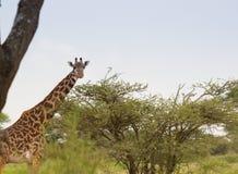 Girafe de masai frôlant sur un acacia de surface plane Photo libre de droits