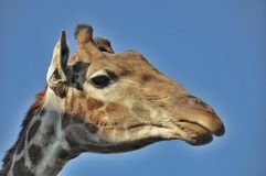 Girafe de portrait Images stock