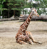 Girafe de repos images stock