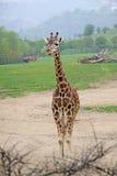 Girafe debout dans un zoo Photos libres de droits