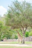 Girafe dedans Photos stock