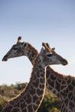 Girafe deux Image libre de droits