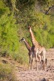 Girafe deux croisant le lit de rivière sec recherchant les arbres frais Photographie stock libre de droits