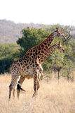 girafe deux dans le buisson africain Image stock
