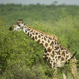 Girafe eating in the serengeti reserve Stock Images
