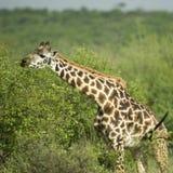 Girafe eating in the serengeti reserve Stock Images