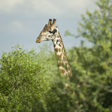 Girafe eating in the serengeti reserve. A Girafe eating in the serengeti reserve Royalty Free Stock Images