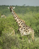 Girafe eating in the serengeti reserve Stock Photos