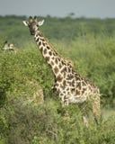 Girafe eating in the serengeti reserve Stock Photos