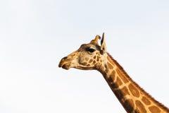 Girafe en Afrique Photo libre de droits