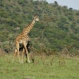 Girafe en el Serengeti Foto de archivo libre de regalías