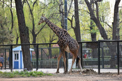 Girafe en parc Photo stock