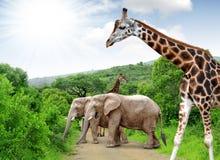 Girafe et éléphants Photo stock
