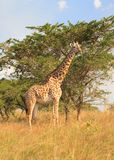 Girafe et arbre Photos stock