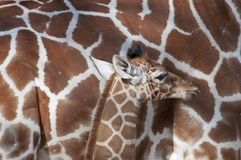 Girafe et enfant Images stock