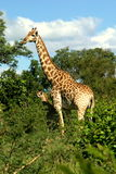 Girafe et veau Photos stock
