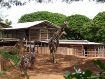 Girafe et zèbre dans le zoo d'Hawaï photo libre de droits
