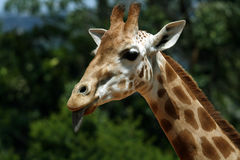 Girafe face. Funny girafe face showing tongue Stock Images