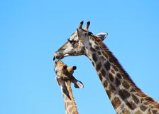 Girafe - faune d'Afrique - mamans animales et amour Photographie stock