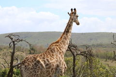 Girafe flânant loin Photographie stock