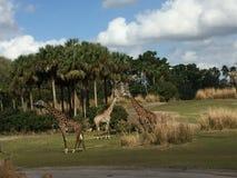 Girafe flânant par un champ herbeux avec des arbres photos libres de droits