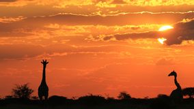 Girafe - fond de faune - amour de nature et couchers du soleil d'or Photo libre de droits