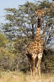 Girafe - Giraffa camelopardalis Stock Image