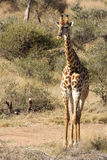 Girafe - Giraffa camelopardalis. Adult girafe, wild animal in the south african bush Royalty Free Stock Photography