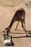 Girafe - Giraffa camelopardalis Royalty Free Stock Photo