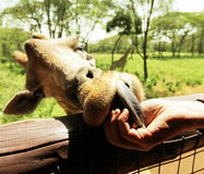 Girafe Royalty Free Stock Photo