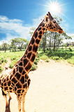 Girafe Royalty Free Stock Photography