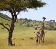 Girafe Stock Images