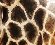 Girafe Royalty Free Stock Image