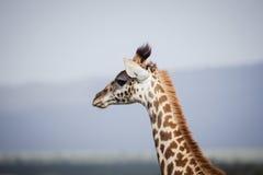 Girafe grande en Afrique Photo libre de droits