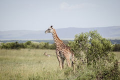 Girafe grande en Afrique 2 Photo stock