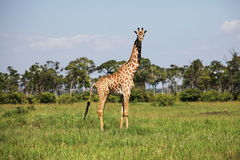 Girafe in grass Royalty Free Stock Photography