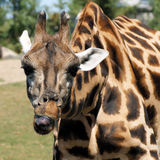 Girafe grimace. This picture represent Girafe who's doing pull face Royalty Free Stock Photos