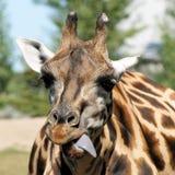 Girafe grimace Stock Image